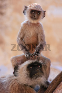 Baby Gray langur sitting with mother, Pushkar, India