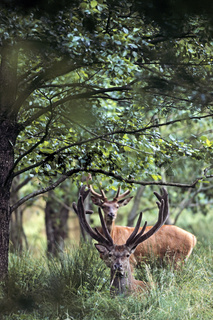 Rothirsche mit Bastgeweih in einem Erlenwald / Red Deer stags with velvet-covered antler in an alder forest / Cervus elaphus