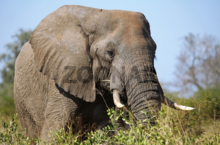 Elefantenporträt, Kruger Nationalpark Südafrika; african elephant, south africa, wildlife
