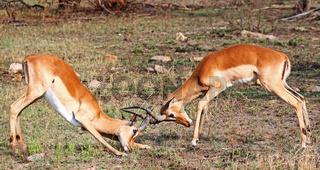 Kämpfende Impalamännchen im Kruger Nationalpark, Schwarzfersenantilope, Südafrika; Fighting Impalas, South Africa, Aepyceros melampus