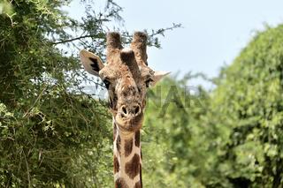 Giraffengesicht