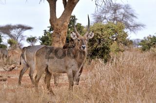 Wasserböcke  im Nationalpark Tsavo Ost