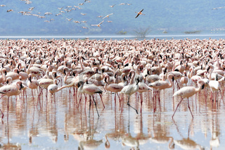 Flamingos im Rift Valley