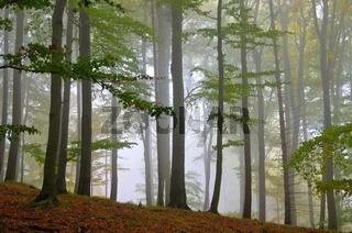 Buchenwald im Nebel - beech forest in fog 11