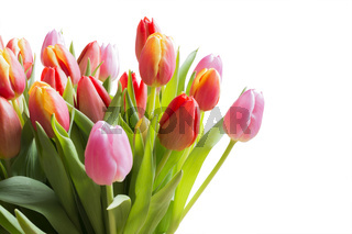 Spring color tulips isolated on white
