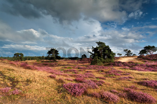 meadows with pink flowering heather