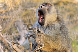 Das große Gähnen eines müden Pavians