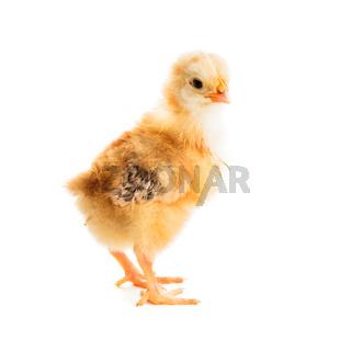 Cute chick