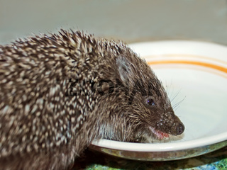 Funny hedgehog drinks a milk
