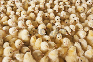 Large group of baby chicks on chicken farm