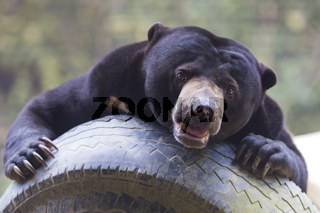 Malayan sun bear seat around the nature