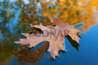 Ahornblatt und Herbstlaub im Wasser