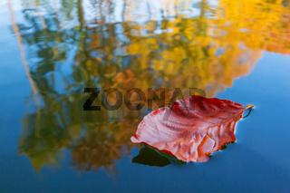 Buchenblatt und Herbstlaub im Wasser