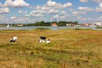 Grünland am Ufer der Schlei mit Kühen