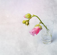 Pink mallow (Malva) in crystal glass on grunge background
