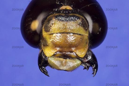 Foto Libelle-Mundwerkzeuge Bild #5434700