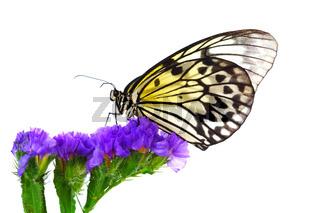 idea leuconoe on violet flower close up