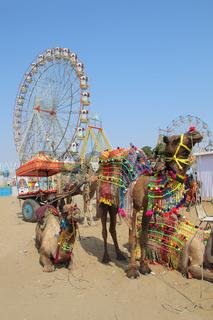 ornate camels and ferris wheels at Pushkar camel fair