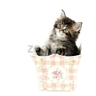 MAINE COON kitten black tabby
