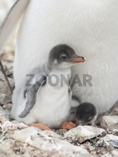 Gentoo penguin chicks in the nest.