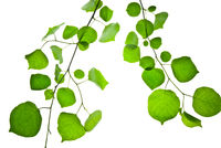 Two-twigs-with-green-leaves-isolated-on-white-background