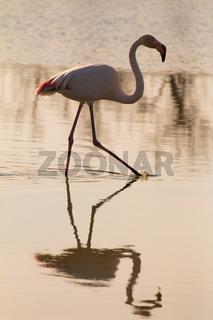 flamingo spazierend