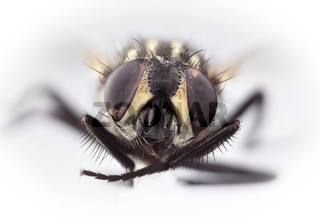 HouseFly Magnification
