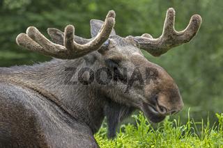 Porträt eines Europäischen Elches, Schweden, Europa / Alces alces