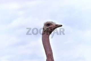 Kopf und Hals eines afrikanischen Straußes