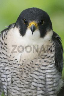 Wanderfalke. Peregrine Falcon, Falco peregrinus