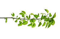 Back-lighted-spring-branch-with-green-leaves-isolated-on-white-background