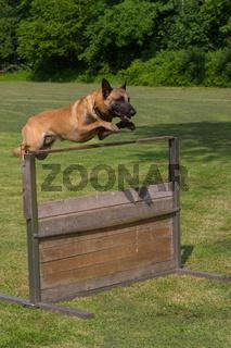 Schaeferhund springt