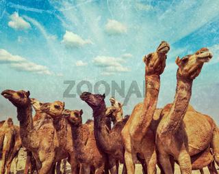 Vintage retro hipster style travel image of camels at Pushkar Mela (Pushkar Camel Fair) with grunge texture overlaid. Pushkar