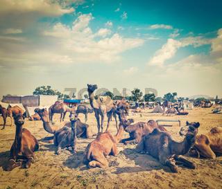 Vintage retro hipster style travel image of  camels at Pushkar Mela (Pushkar Camel Fair). Pushkar
