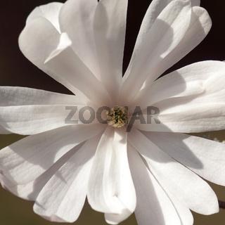 Sternmagnolie, Magnolia, stellata,