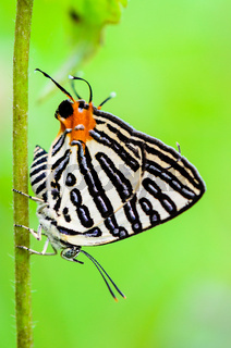 Club Silverline or Spindasis syama terana butterfly