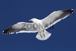 Dominican gull soaring in blue sky in Antarctica