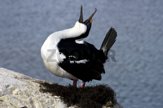 Antarctic blue-eyed cormorant nest tokuyuschy spring day