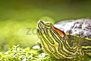Turtle head portrait in natue