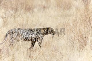 Leopard auf Streifzug