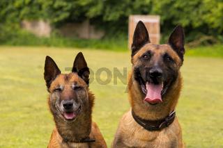 Zwei belgische Schaeferhunde sitzen