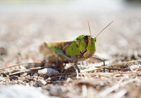 Front view of migratory locust in wilderness