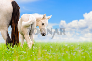 White horse mare and foal on sky background