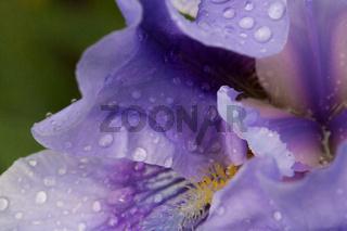 Schwertlilie lila Wassertropfen schnitt