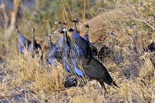 Geierperlhühner in Buffalo Springs, Kenia