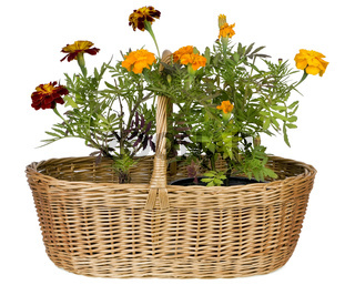 French marigolds  of Montmartre isolated