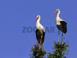 A pair of White stork perched in a tree