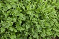 Neuseeländer Spinat - Tetragonia tetragonioides