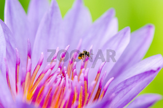 Macro insect and pollen of purple lotus ( Nymphaea Nouchali )