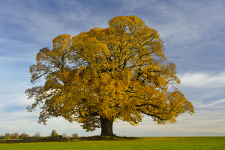 single big linden tree at autumn